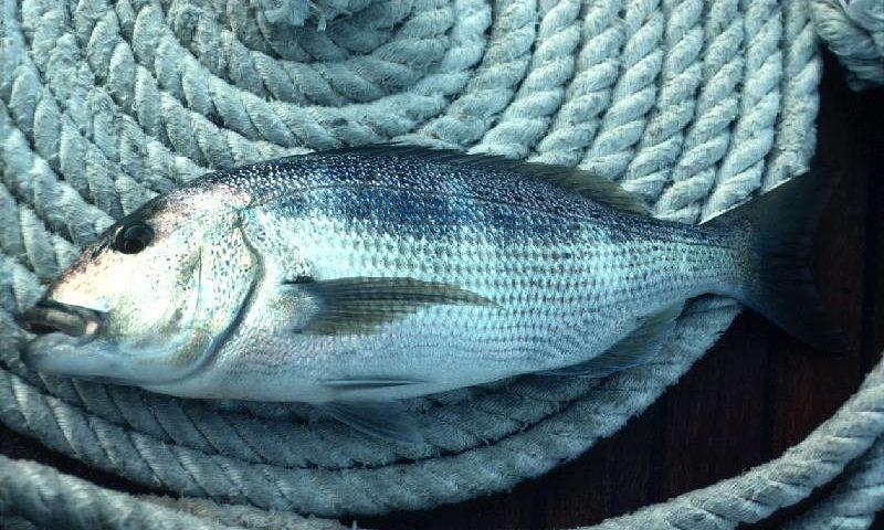 как поймать рыбу в хорватии